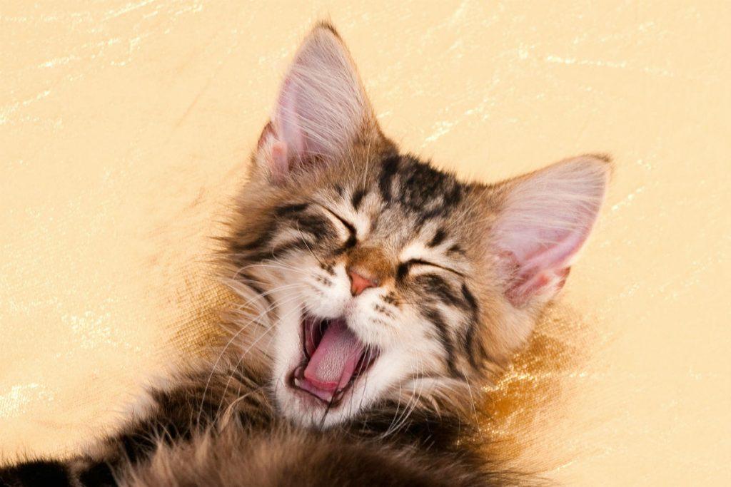 Brown cat yawning