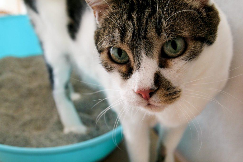 Cat standing in litter box