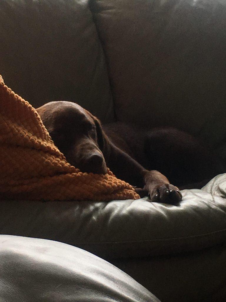 Takota Tika Moon the chocolate lab sleeping on a couch